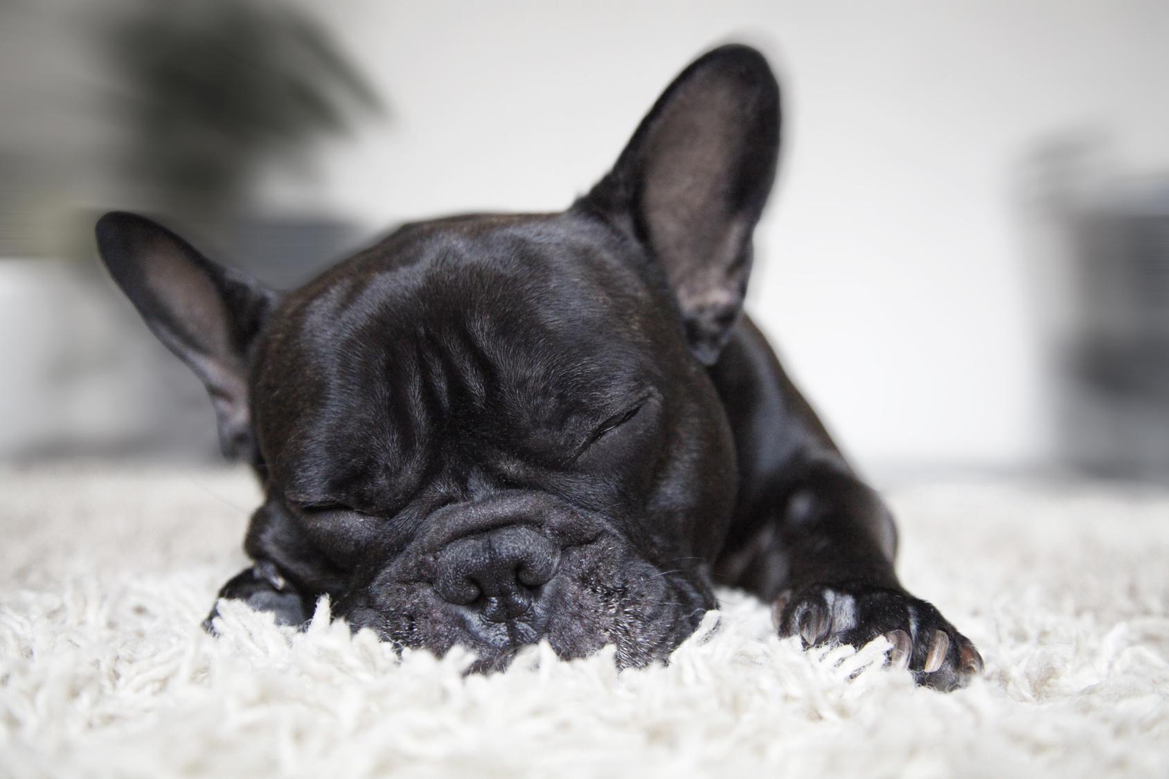 Judy Maassen dog breeder frenchie puppy