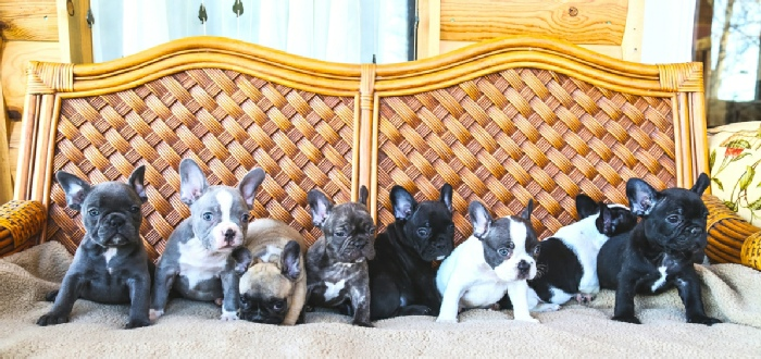 Silver Moon French Bulldogs